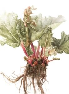 Elaine Searle. Rhubarb (2013)